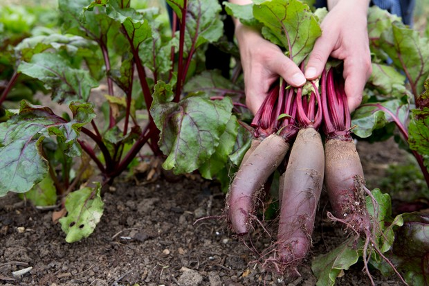 beetroot-cylindra-3