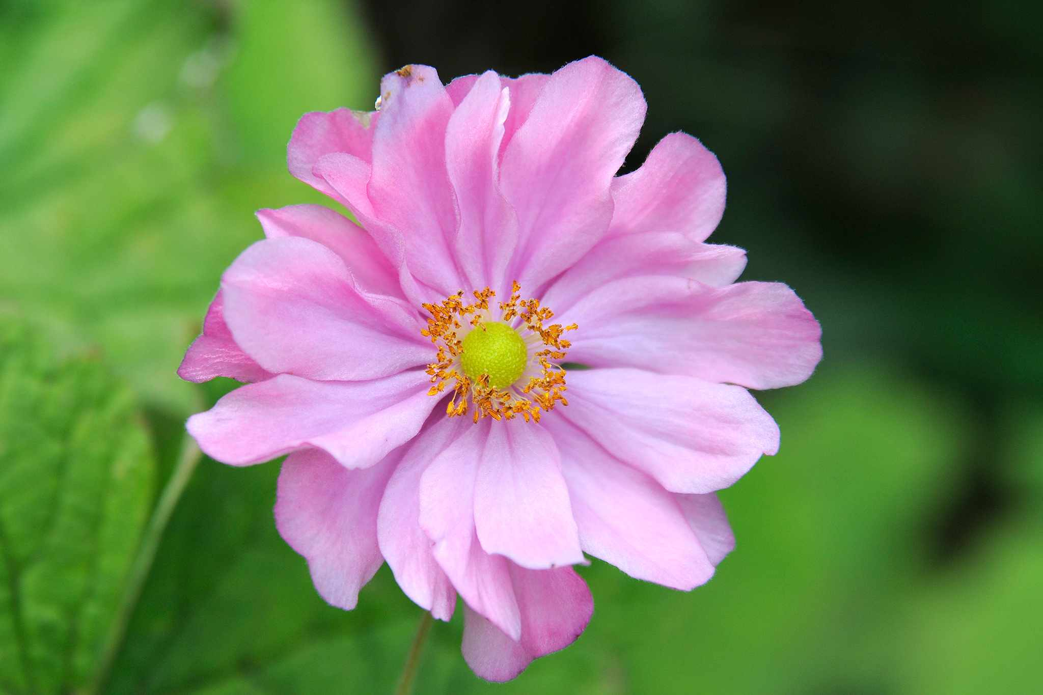 Pink Japanese anemone flower