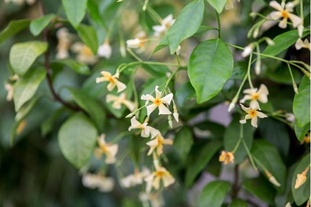 trachelospermum-asiaticum-6