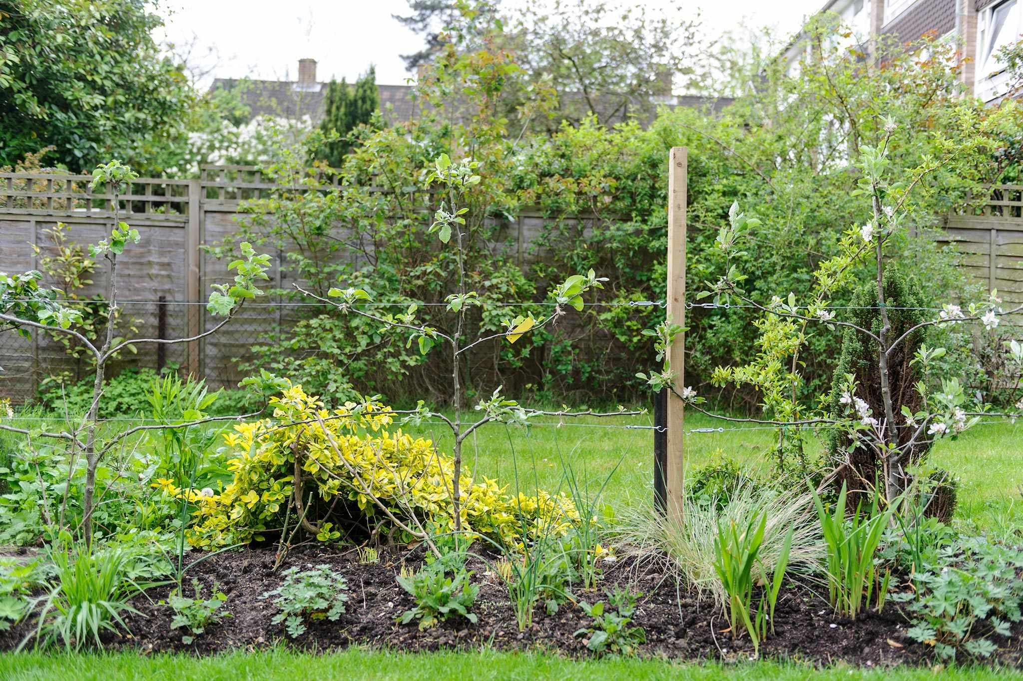 A row of espalier fruit trees