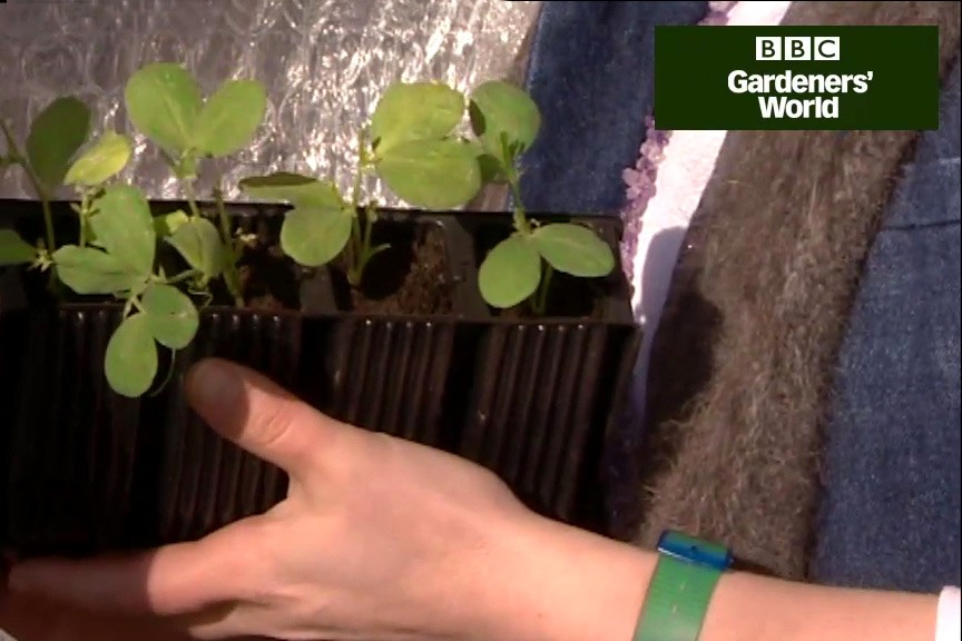 How to pot on sweet peas video