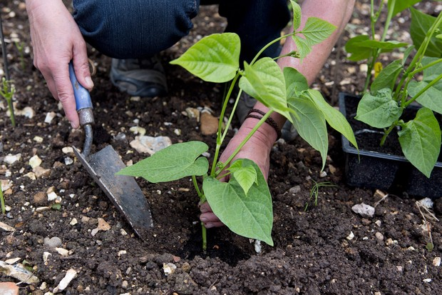 How to plant out French beans - planting young bean plants