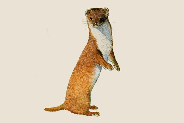 An illustration of a long, red-brown weasel with a white underside, standing on its hind legs