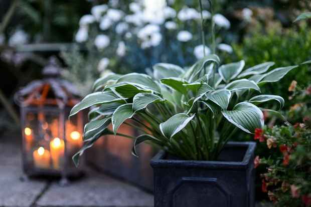 hosta-planted-in-a-pot-2