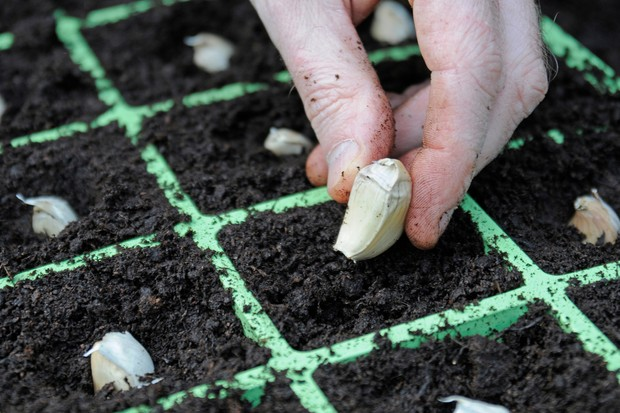 planting-garlic-cloves-in-seed-tray-2