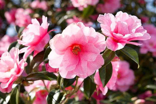 Pink camellia blooms