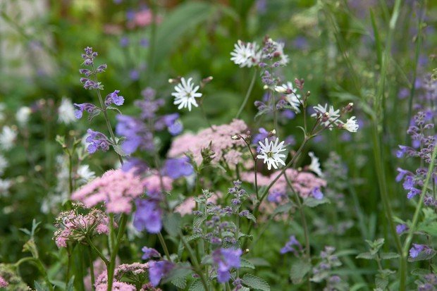 Pale-pink hairy chervil flowers with white ragged robin and blue catmint