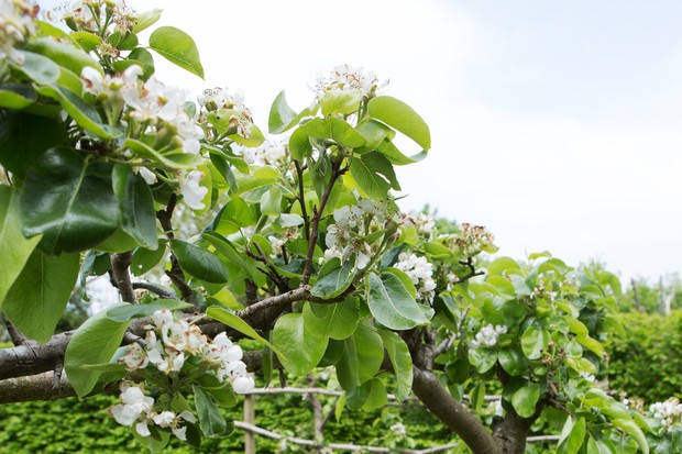 Espalier pear in blossom