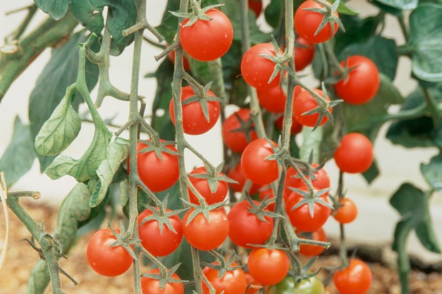 Cherry tomato 'Sakura' on the vine