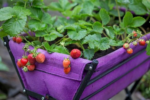 Strawberry plants bearing fruit grown in a pop-up trug