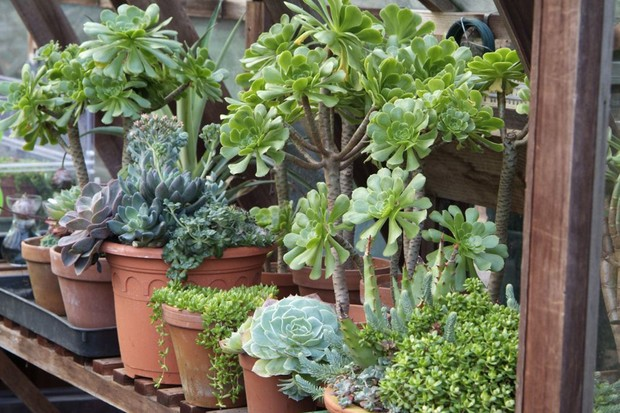Protecting plants in winter - aeoniums in pots