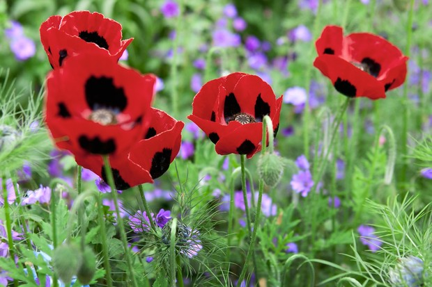 Black and red opium poppies with mauve geraniums