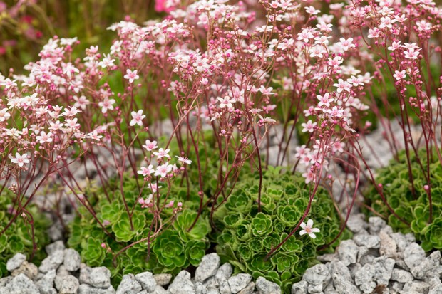 Pale-pink flowers and red stems of saxifrage 'Winifred Bevington'