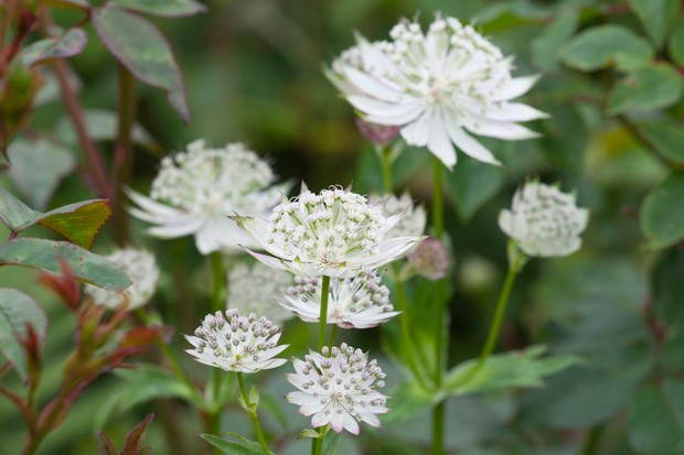 astrantia-major-alba-2