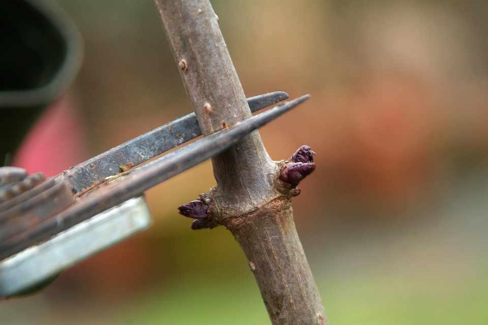 How to prune elder