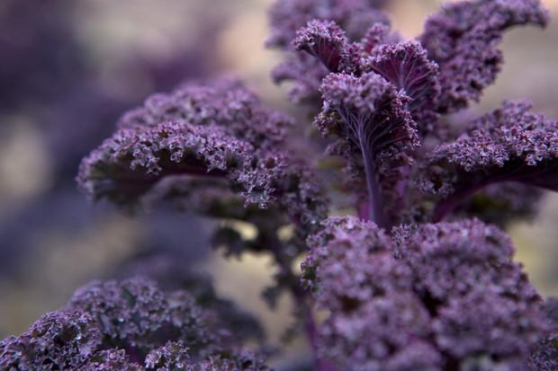 Purple kale leaves