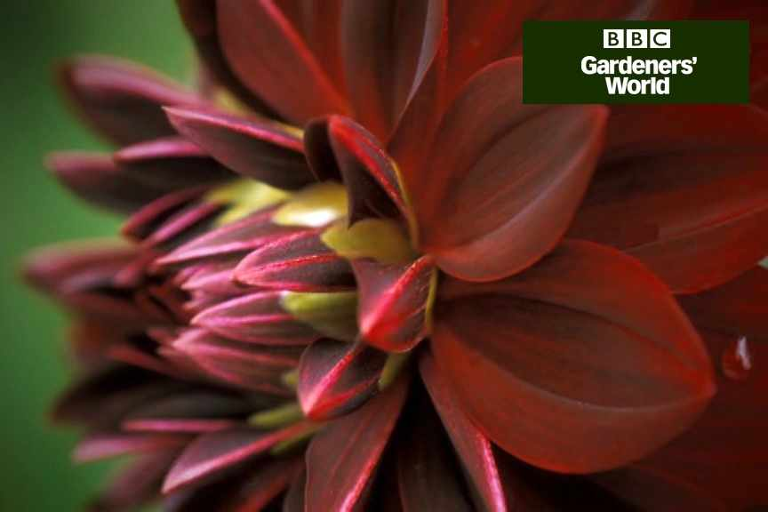 How to grow dahlias from seed