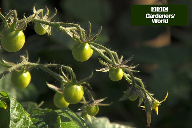 Monty Don's tomato trial (part six)