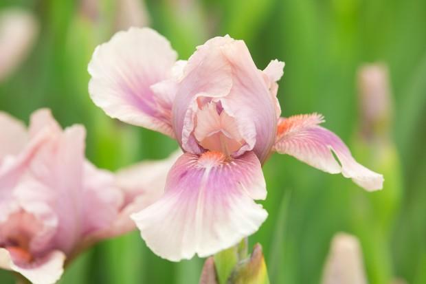 Iris 'Raspberry Blush': dusky pale-pink standards and pale-purple blushed falls with a bright orange beard