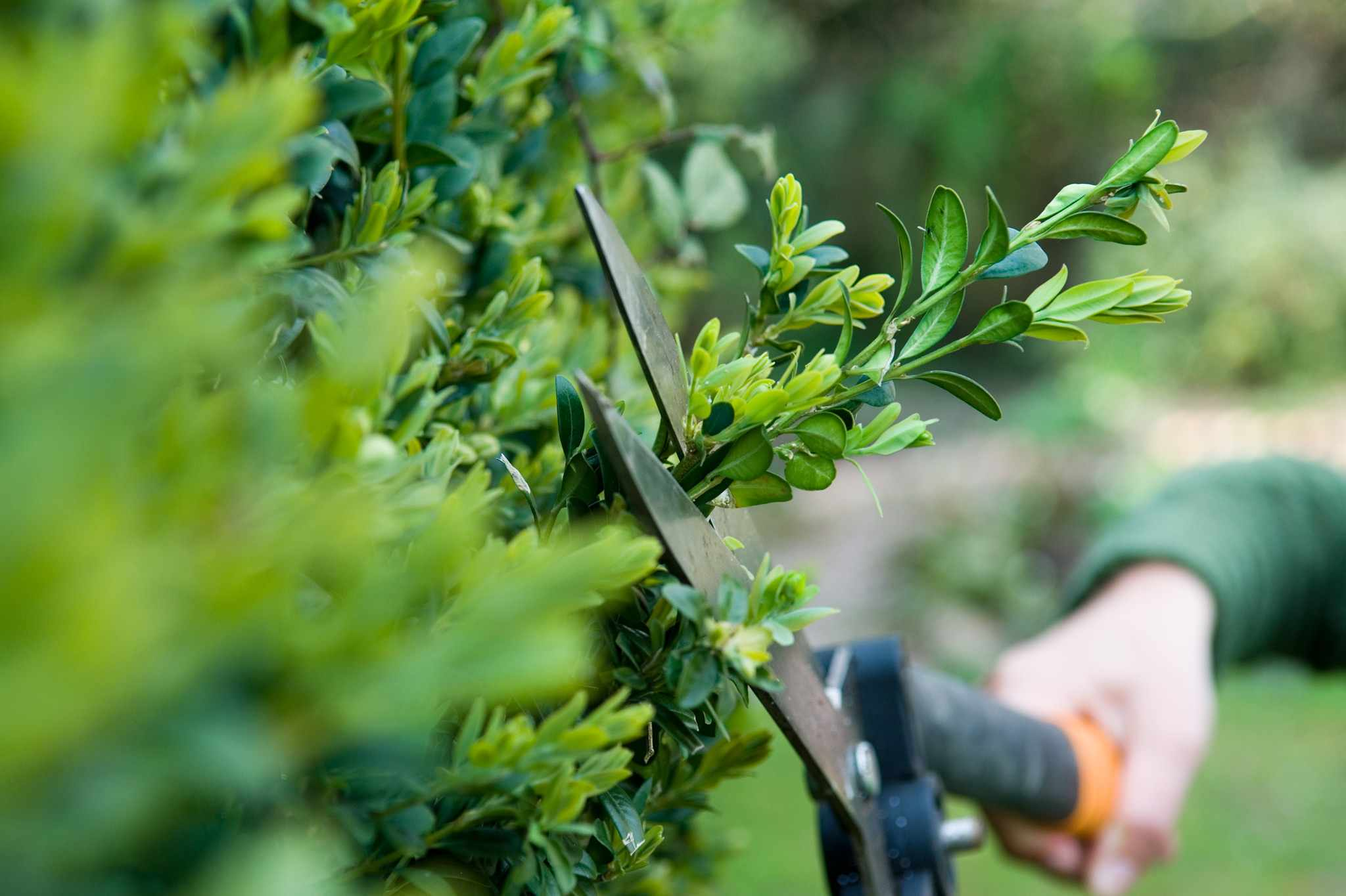 Pruning an evergreen hedge