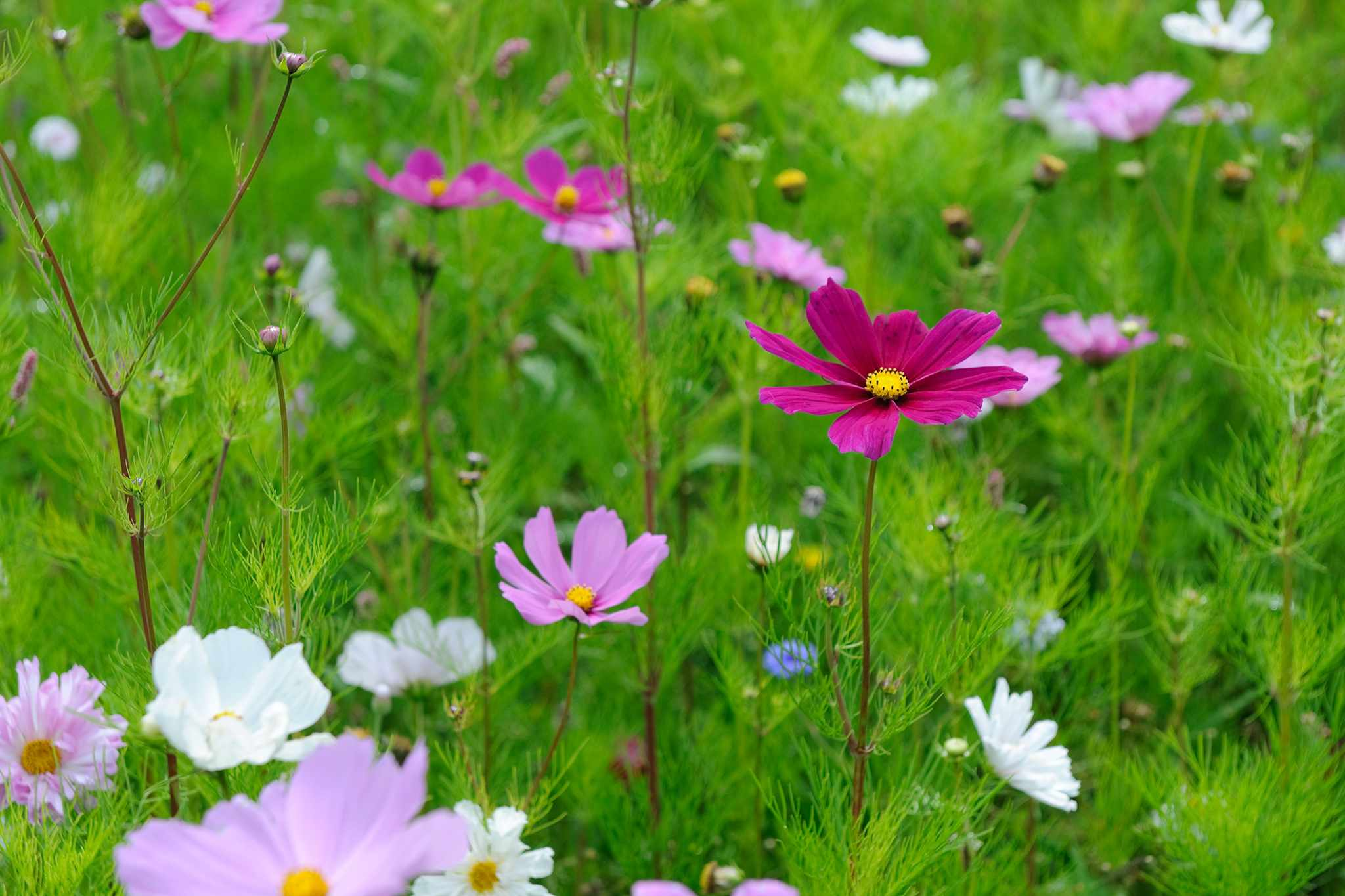 Cosmos in flower