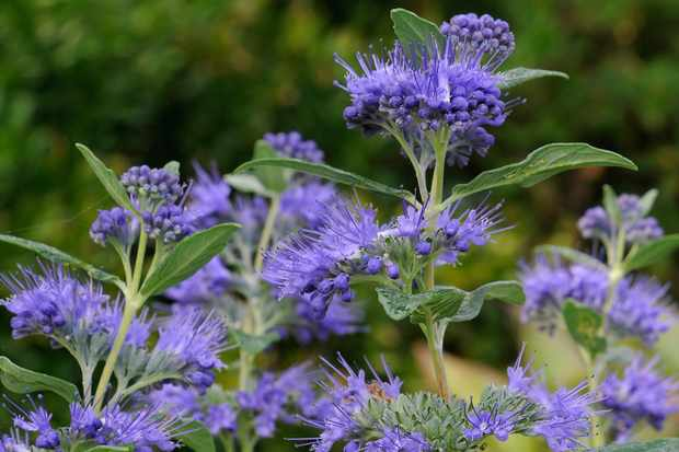 caryopteris-clanodensis-dark-knight-2
