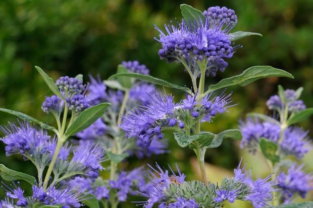 "Blue blooms of <em>Caryopteris</em> 'Dark Knight"""