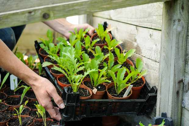 Acclimatising plants to outdoor surroundings before planting out