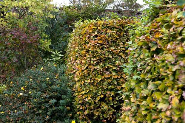 beech-hedge-fagus-sylvatica-2