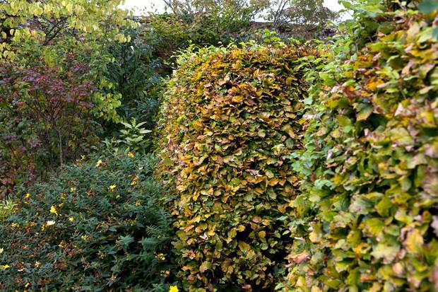 Beech hedges turning golden