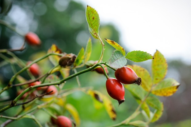 Orange-red rosehips