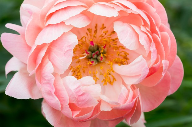 Peach bloom of Paeonia 'Coral Charm'