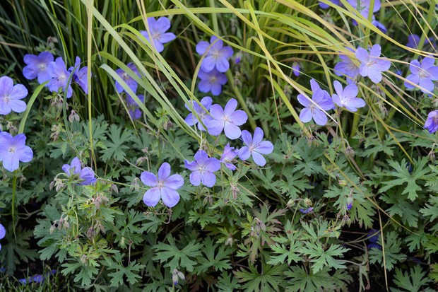 Blue-purple hardy geranium flowers planted in front of pale-green grasses