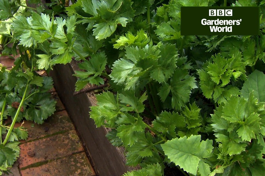 How to look after celeriac in autumn