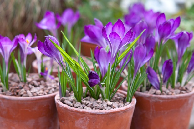 Crocus tommasianus 'Barr's Purple' flowering in small pots