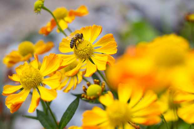 A bee on orange-yellow helenium flowers
