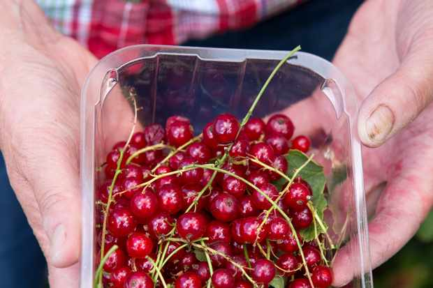 Harvested redcurrants