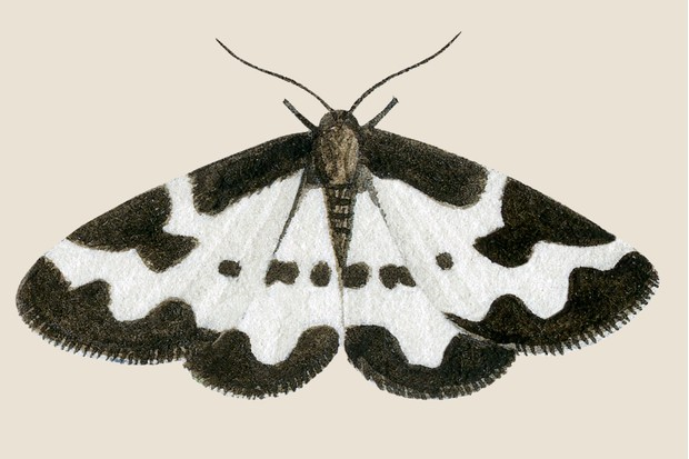 White and black clouded border moth illustration