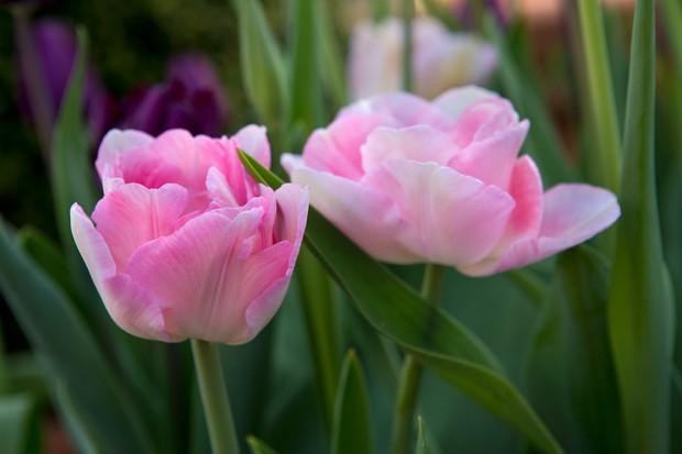 tulipa-angelique-2