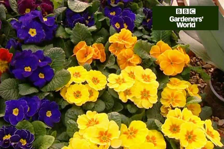 How to grow polyanthus from seed