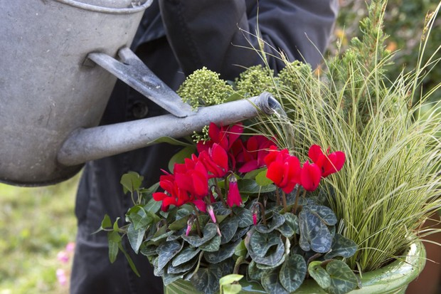 Cyclamen, carex, ivy and skimmia pot display - watering the display