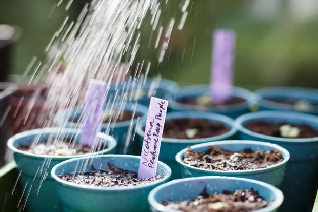 Watering nicotiana seedlings