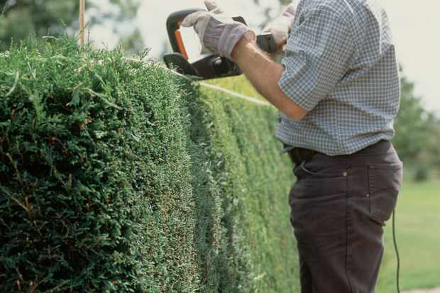 Pruning a conifer hedge with hedge-trimmers, to a line marked by taut string