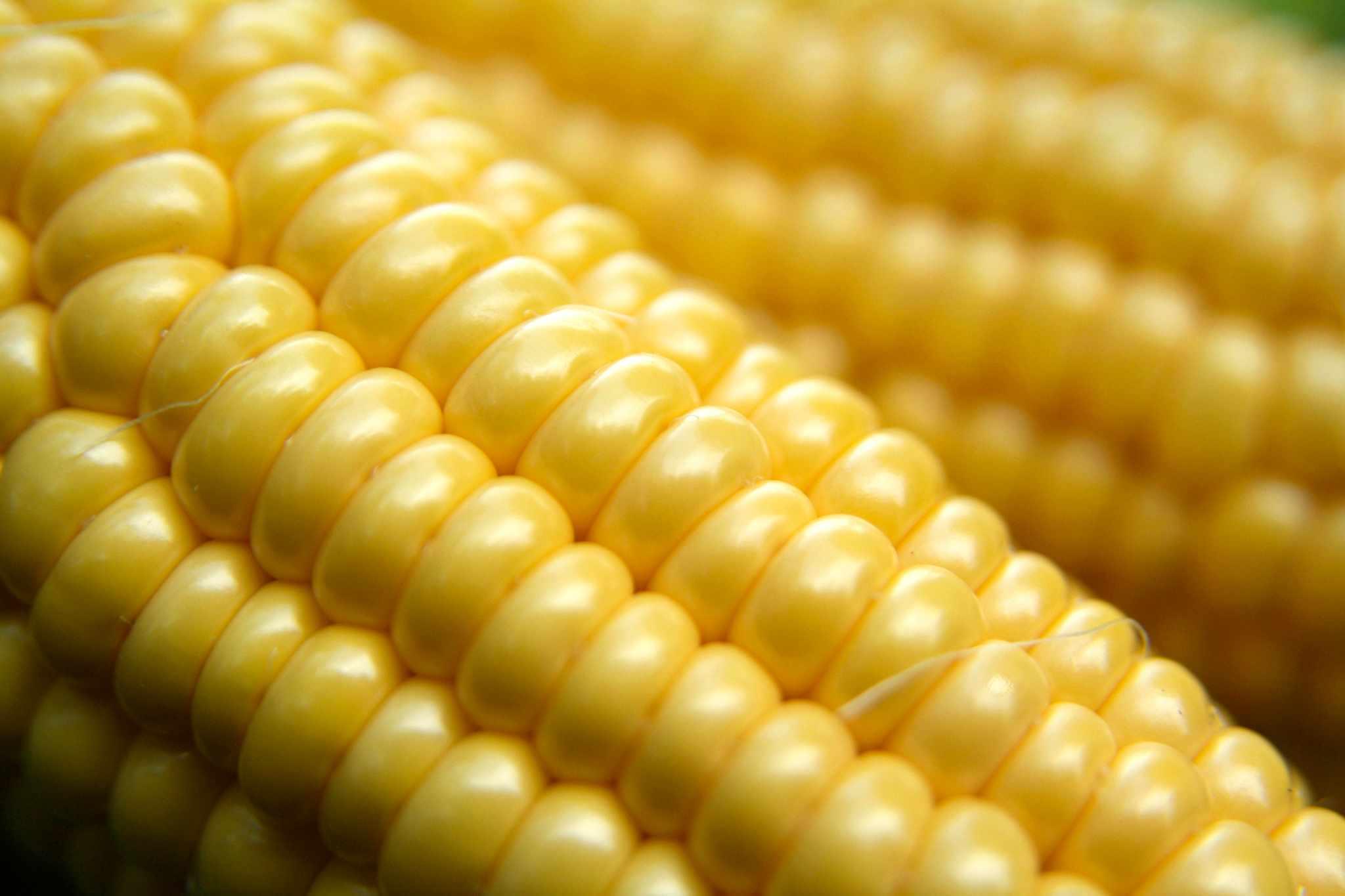 How to harvest sweetcorn