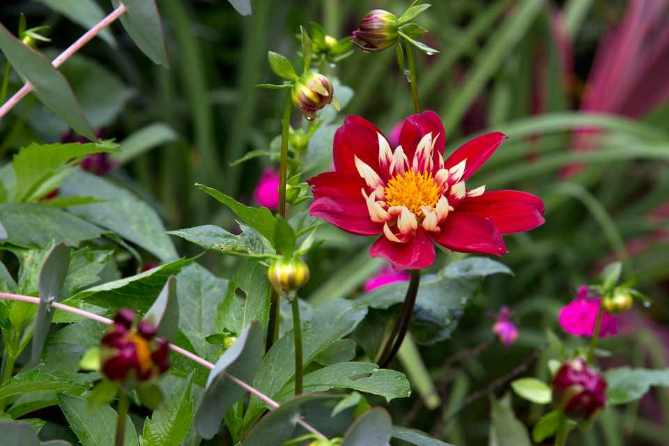 Pretty Dahlia 'Chimborazo' with crimson outer petals and pale yellow inner petals