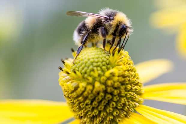 White-tailed bumblebee, Bombus lucorum