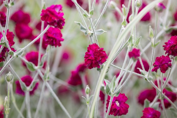 Lychnis 'Gardeners' World'
