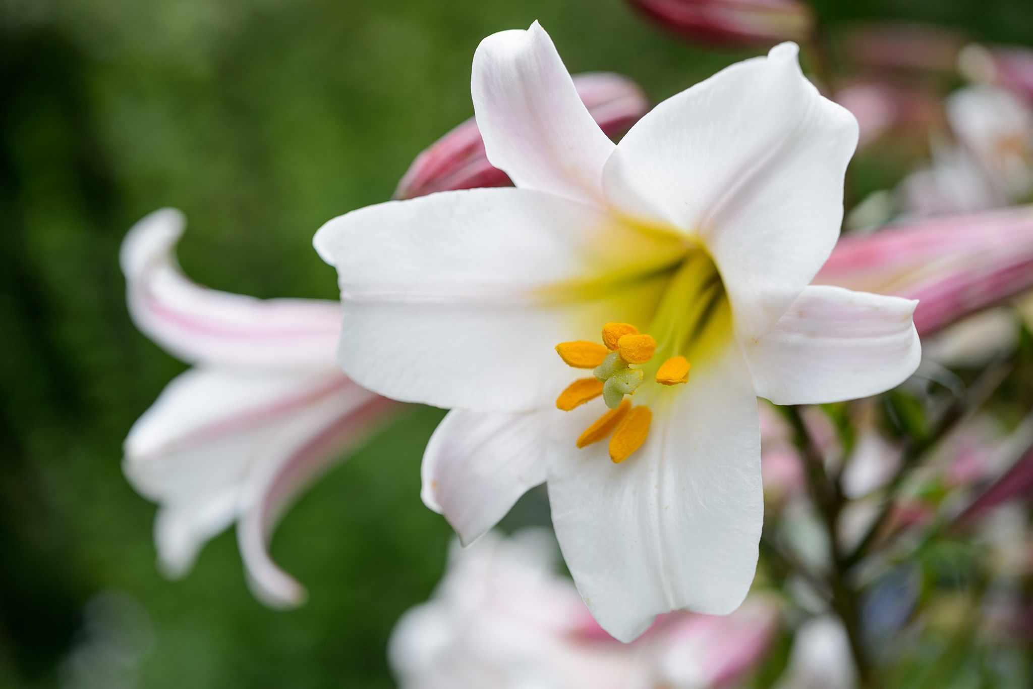 Grow guide - lilies