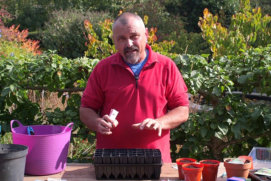 Sowing sweet pea seeds