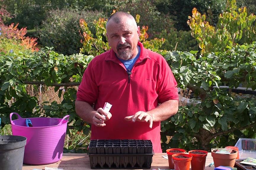 Sowing sweet pea seeds